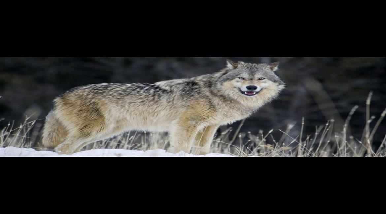 NATURE : Les effets inattendus de la réintroduction du loup